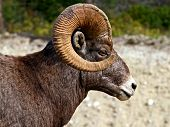 Big Horn Sheep of the Rocky Mountains poster