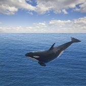 jumping killer whale, seascape with deep  ocean  waters and cloudscape poster