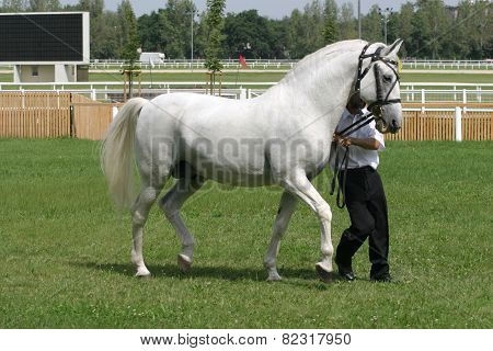 Beautiful Young Purebred Gray Arabian Stallion With His Trainer