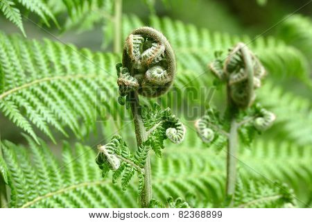 A Fern Unrolling A Young Frond