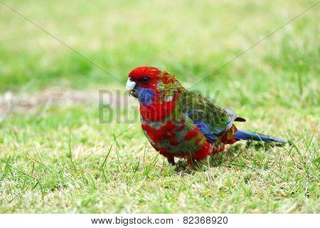 Australian Multicoloured Parrot