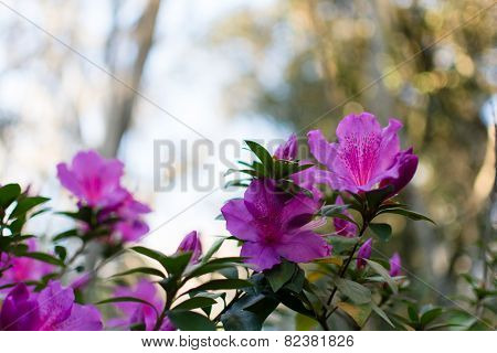 Blooming Rhododendron Azalea