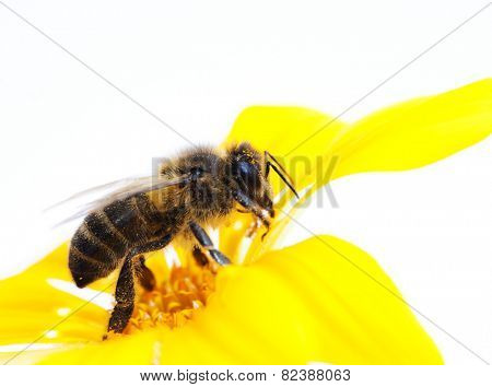 collecting bee