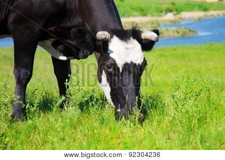Black Cow Eating Grass On A Meadow