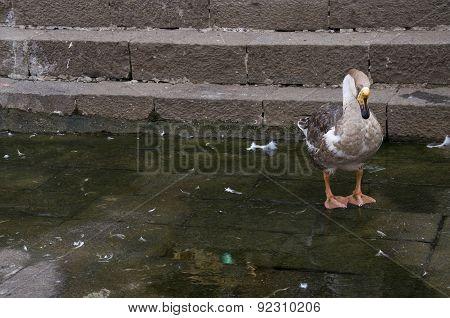 Duck Fifteen