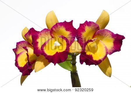Cattleya Orchid Flower