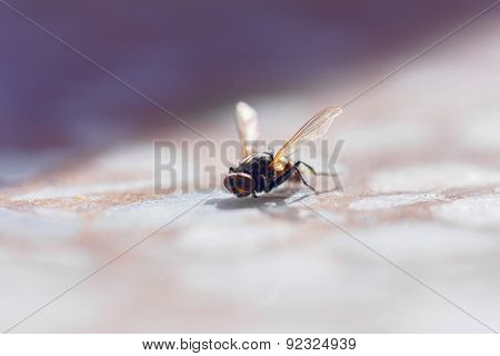 Large Fly Lit By Sun