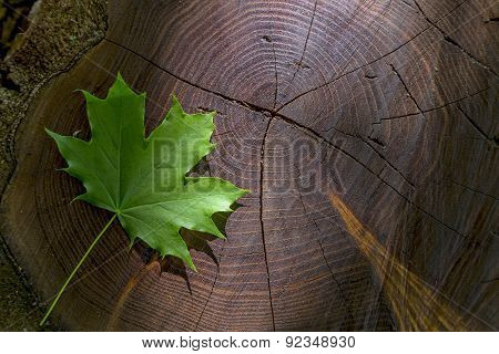 Fresh Green Maple Leaf On Wooden Stock With Sunbeam