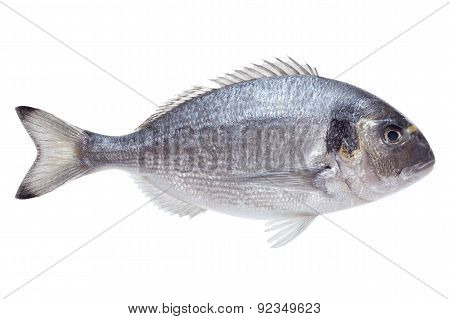 Dorado Fish On White Background