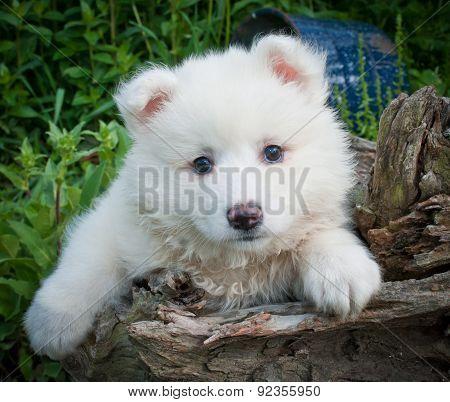 Huskimo Puppy