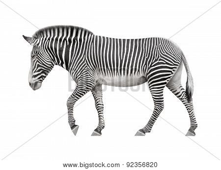 Zebra Walking On A White Background