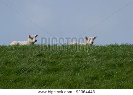 White lambs on green grass