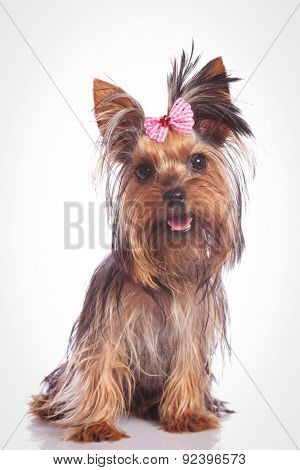 seated yorkie puppy dog looking at the camera on studio background