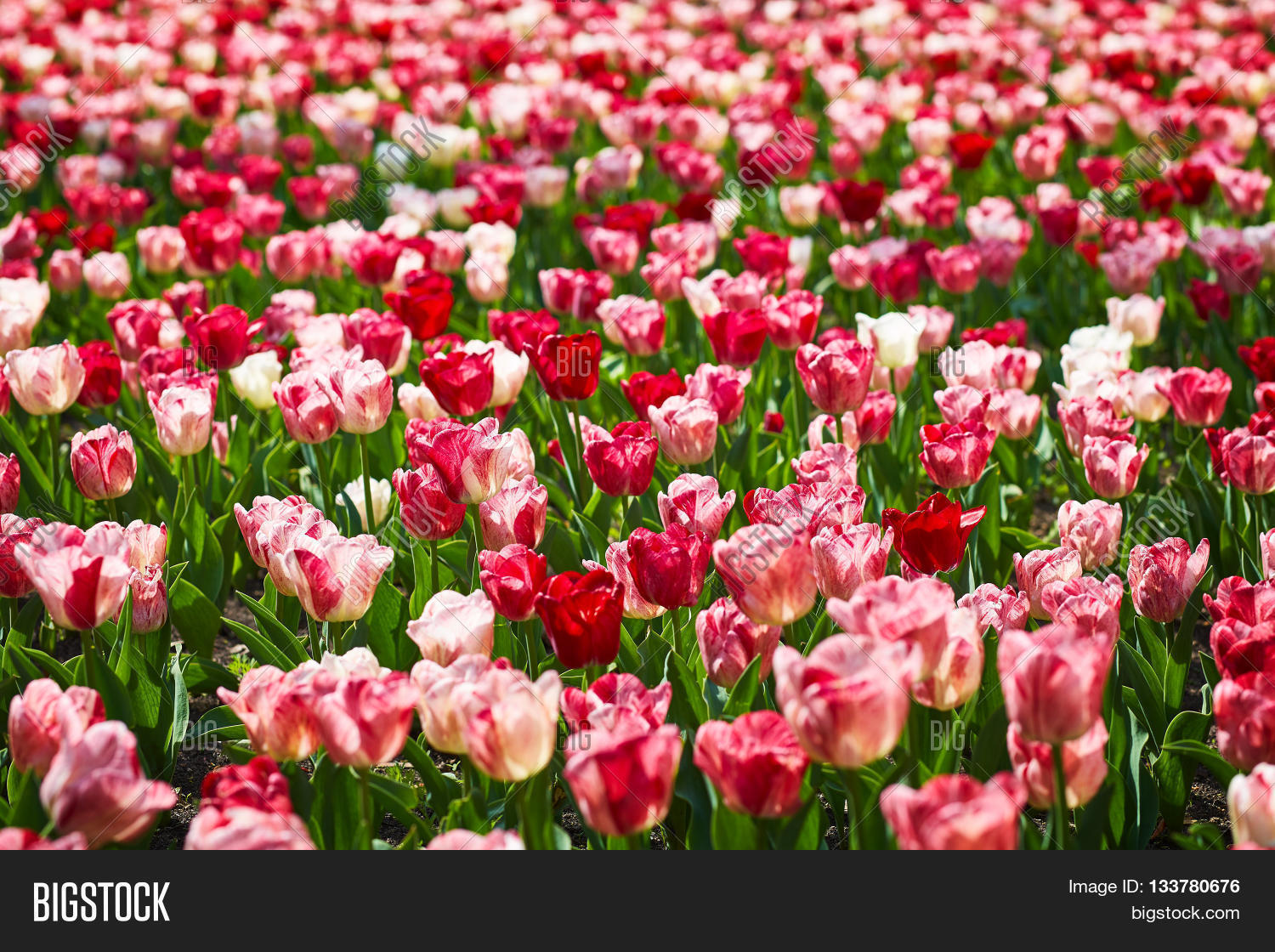 Field Spring Tulips Image Photo Free Trial Bigstock