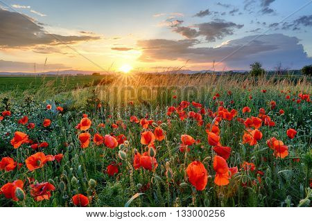 Poppies field flower on sunset with sun.