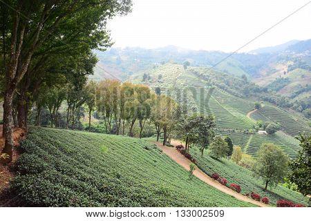 Green tea plantations. green tea garden on the hill. Thailand