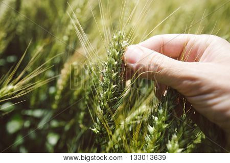 Hand in wheat field close up of fingers holding cereal crop plant
