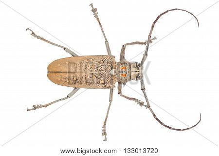 Close Up Of A Longhorn Beetle ( Coleoptera-cerambycidae )