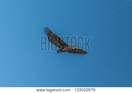 Juvenile Bateleur Flying In Perfect Blue Sky