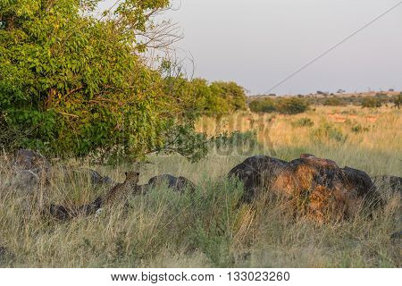 Leopard Watching Impala Herd From Behind Rocks
