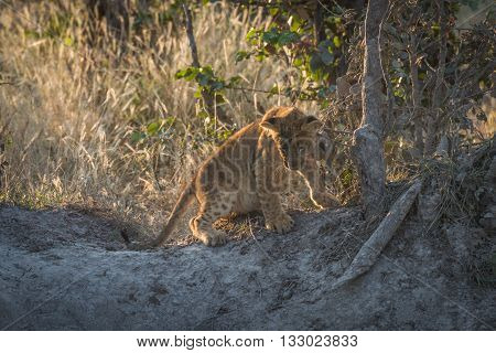 Lion Cub At Dusk Looking Down Bank