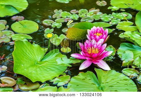 Water lily of Koko-en garden in Himeji - Japan