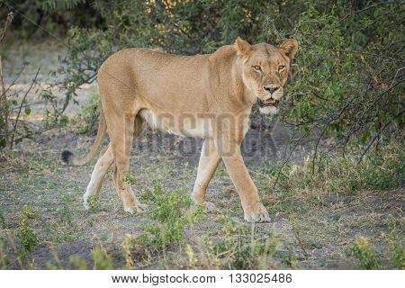 Lioness stalking prey in shade of bush poster
