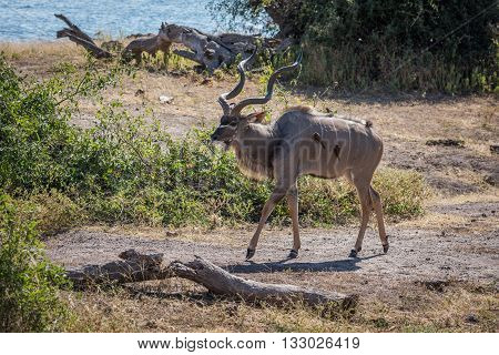 Male Greater Kudu With Oxpeckers On Riverbank
