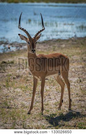 Male Impala On Grassy Riverbank Facing Camera