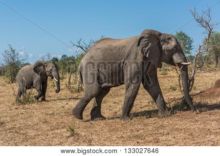 Mother And Baby Elephant Crossing Grassy Hillside
