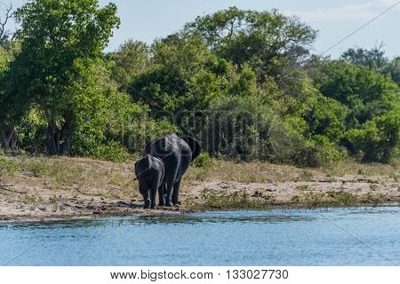 Mother And Baby Elephant Walking Along Riverbank
