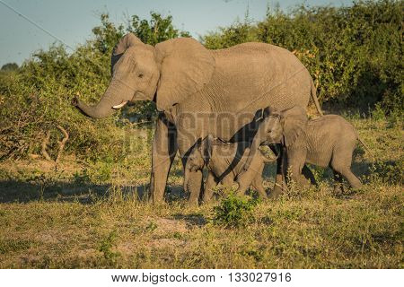 Mother Elephant With Two Babies Beside Bushes