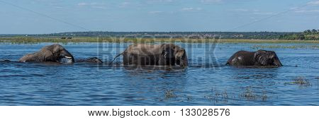 Panorama Of Elephants Crossing River In Line