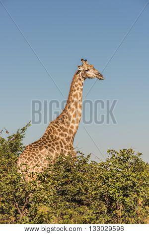 South African Giraffe Amongst Bushes Facing Camera