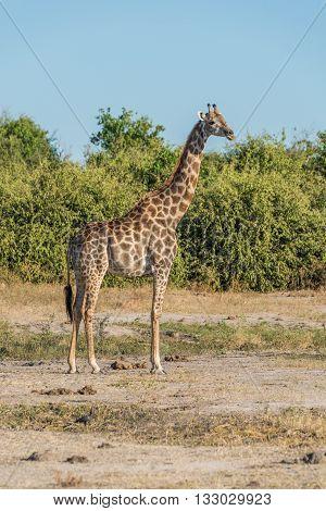 South African Giraffe In Bush Facing Camera
