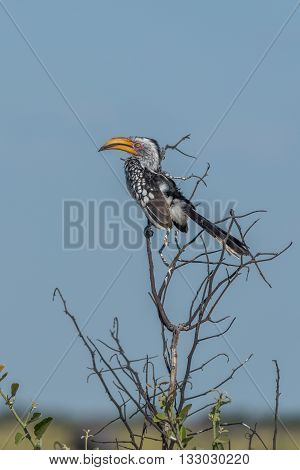 Southern Yellow-billed Hornbill On Branch Of Tree