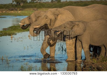 Three Elephants In Line Drinking From River
