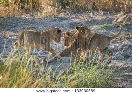 Three Lion Cubs Playing On Muddy Ground