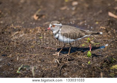 Three-banded Plover In Profile Walking Along Riverbank