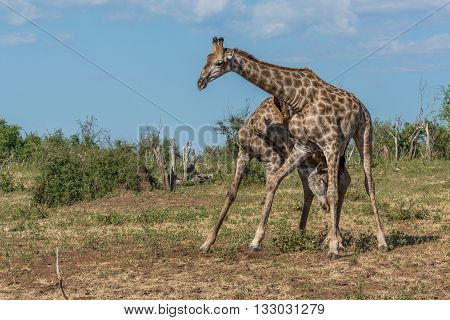 Two South African Giraffe Fighting In Bush