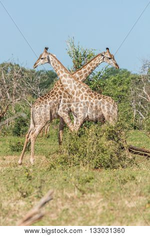 Two South African Giraffe Pushing Each Other