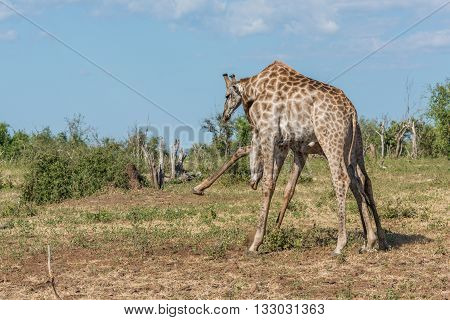 Two South African Giraffe Fighting In Bushes