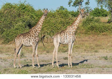Two South African Giraffe Side-by-side In Bush