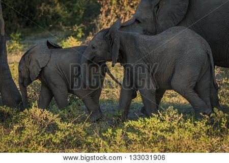 Two Baby Elephants Walking Between Both Parents