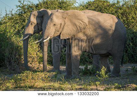 Two Elephants Standing Side-by-side In Dapple Sunlight