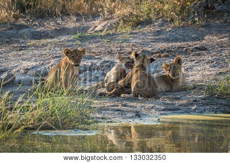 Two Lion Cubs Playing Beside Two Others