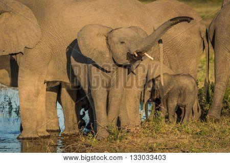Young Elephant Raising Trunk In Golden Light