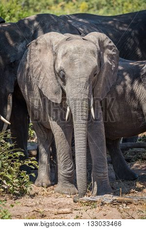 Young Elephant Standing With Herd In Sunshine