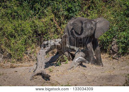 Baby elephant stuck on log waving trunk