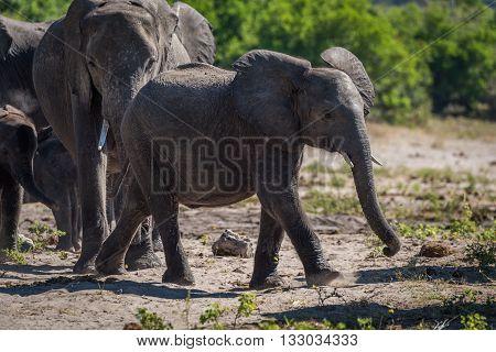 Baby elephant walking ahead of family on sand